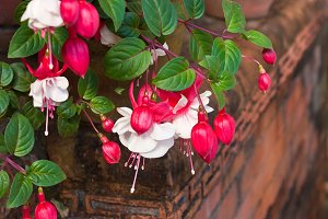 Summer Flowers. Fuschia.