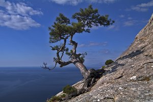 Pine on a cliff above the sea
