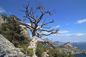 Dead pine tree in Crimean mountains