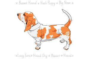 Dog Basset Hound
