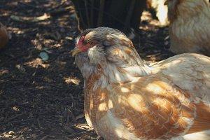 Chicken and Beak