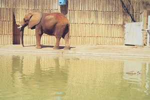 Elephant by Water