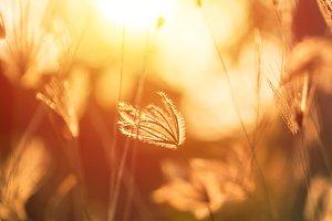 Grass flower with sunset
