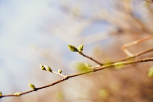 The First Spring Gentle Leaves