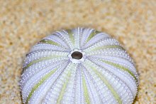 Shell of Sea Urchin