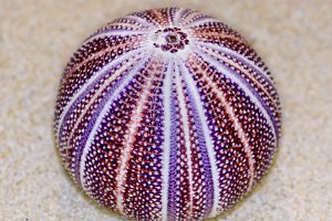 Shell of Sea Urchin