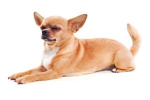 Chihuahua dog.
