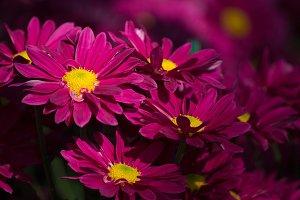 red chrysanthemums daisy flower