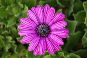 purple osteospermum daisy flower