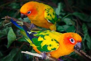 Two sun conures parrots