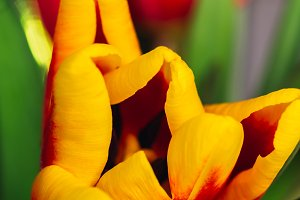 bouquet of fresh tulips close-up macro shot