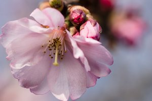 Cherry blossom petal clouseup