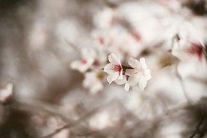 Almond flowers in bloom