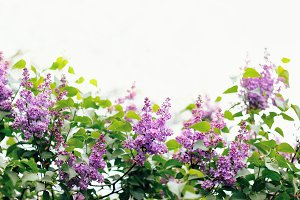Lilac flowers with the leaves