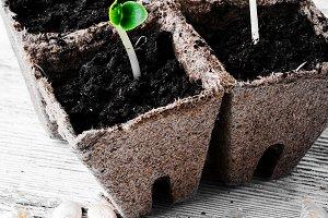 Spring sprout pumpkin.