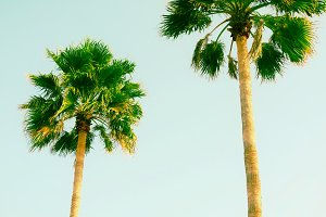 two palm tree