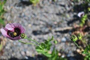papaver somniferum, wild flower