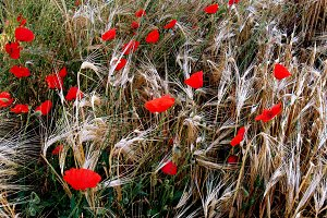 ripe wheat and poppies