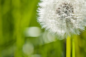 White dandelion green summer background