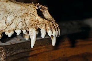 Halloween. Canine skull
