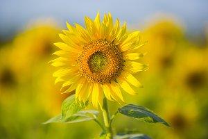 Sunflower blossom