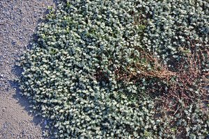 ground cover plants ,