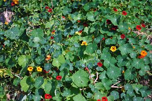 nasturtiums meadow