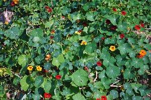 nasturtiums meadow