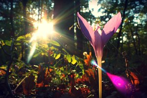 Sunkissed Crocus