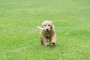 Golden retriever dog running on the field