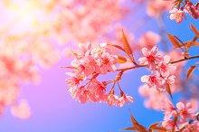 Pink Sakura flower blossom