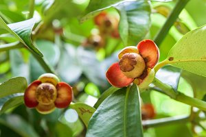 Soft fruit of the mangosteen