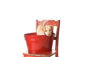 Yellow lab puppy in a red bucket