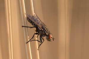 Fly insect resting on blade of grass