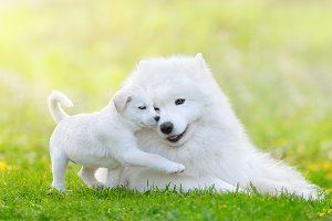 White puppy and samoyed dog