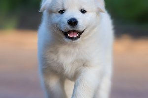 White puppy of mix breed