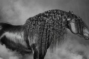 Black Frisian horse with long mane