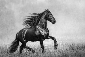 Black Frisian stallion