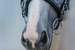Muzzle of grey horse