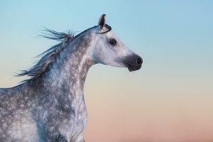 Gray purebred Arabian horse