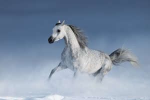 Purebred grey arabian stallion