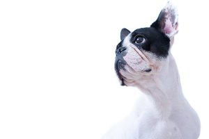 White and black frenchie looking up
