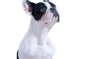 Portrait french bulldog looking up