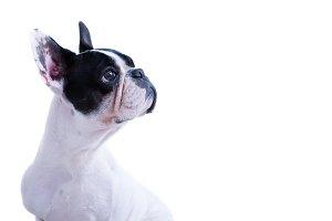 Curious bulldog on white background