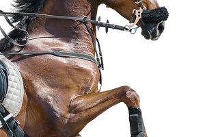 Jumping horse in hackamore