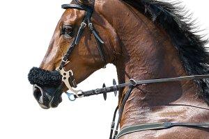Chestnut horse in hackamore