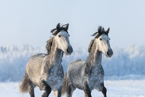 Two galloping gray horse