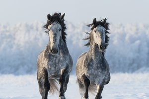 Two galloping horse