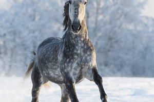 Dapple-grey horse run gallop