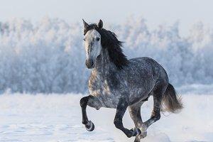 Spanish horse gallops
